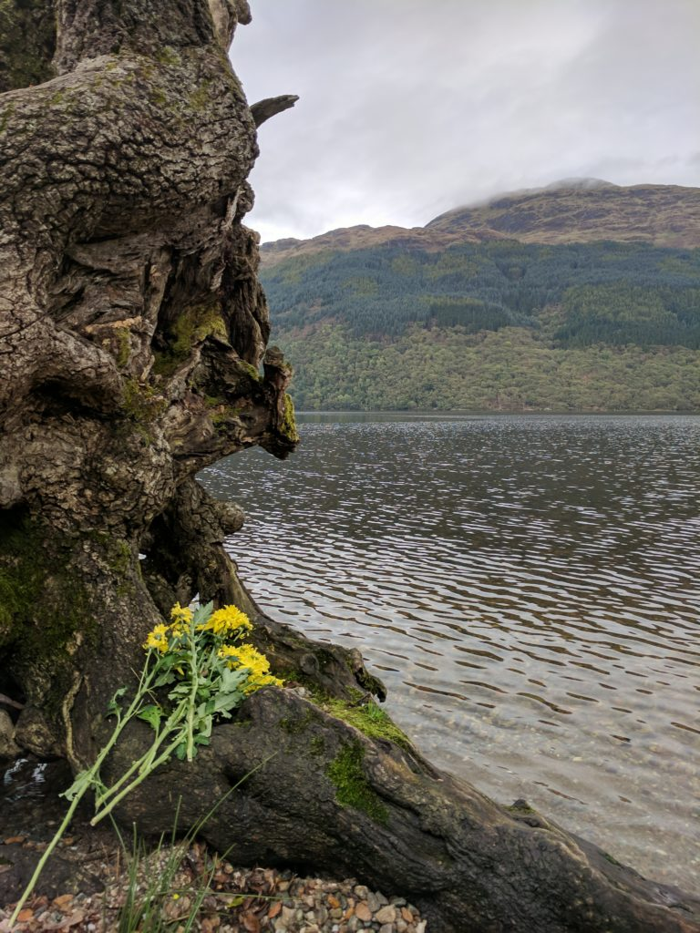 Flowers lay on the exposed roots of the tree hanging out over Loch Lomond