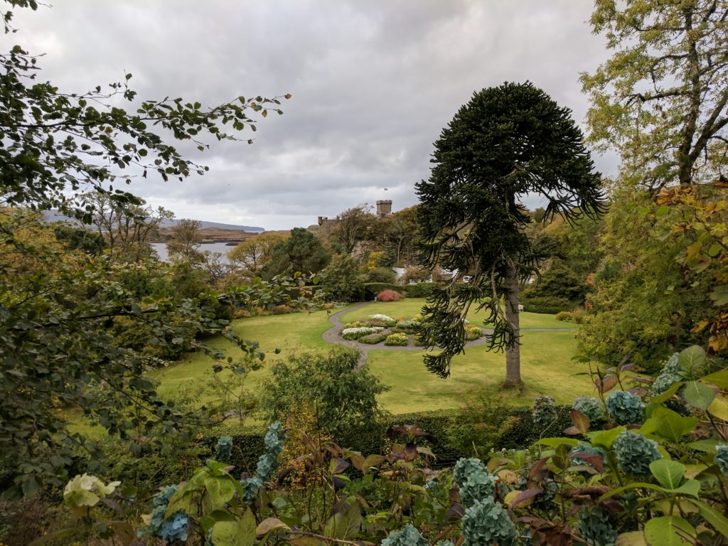 The Monkey Puzzle Tree in a garden at Dunvegan Castle